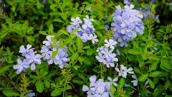 Plumbago, Blossom, Flower, Flower Head, Flowerbed