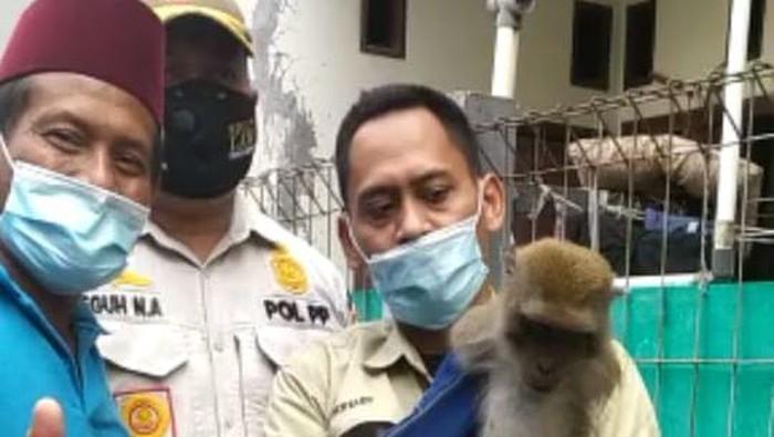 Monyet yang serng bocah Wirda di Palmerah tertangkap setelah ditembak bius. Foto screenshot video dari ibu korban Ruqoyah.