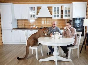 Pasangan Ini Hidup bersama Singa Gunung Dalam Satu Rumah, Tak Takut Diterkam