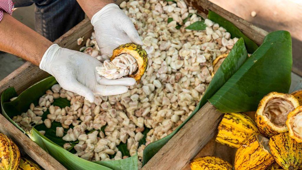 Kementan Dorong Industri Cokelat untuk Penuhi Kebutuhan Ekspor