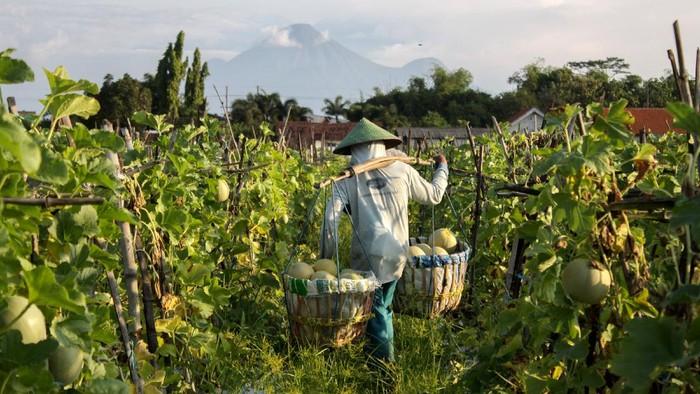 Petani mengangkut melon saat panen di areal persawahan kawasan Wonoayu, Sidoarjo, Jawa Timur, Minggu (25/4/2021). Buah melon tersebut dijual ke kawasan Surabaya dengan harga Rp7.000 per kilogram. ANTARA FOTO/Umarul Faruq/aww.