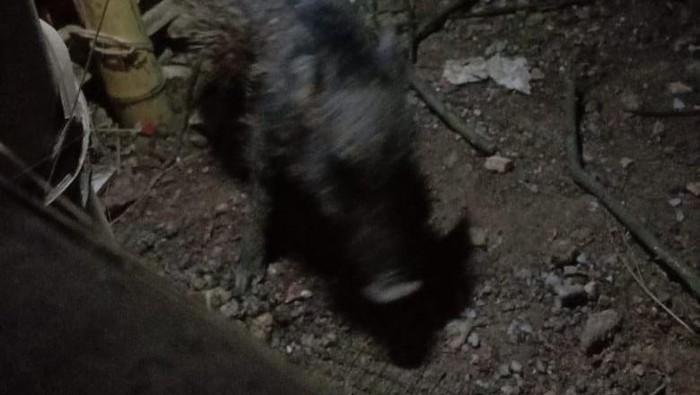 Babi ngepet yang ditangkap warga Bedahan, Sawangan, Depok