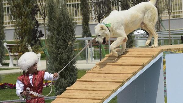 Diketahui, anjing dan kuda merupakan sumber kebanggaan nasional di Turkmenistan. Anjing Alabay sendiri merupakan varietas asli setempat dari anjing penggembala. Anjing yang dihasilkan melalui metode pengembangbiakkan secara khusus ini juga tercatat sebagai salah satu anjing terbesar di dunia dengan berat mencapai 80 kilogram.