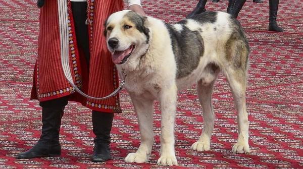 Turkmenistan merayakan hari libur nasional baru yang didedikasikan untuk anjing Alabay.