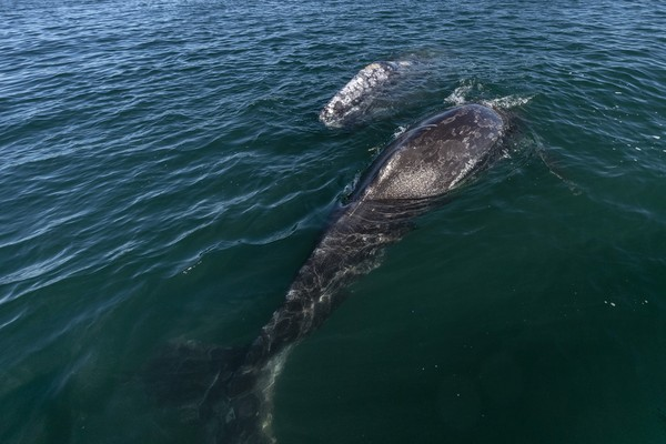 Sama seperti paus lainnya, paus abu-abu muncul ke permukaan untuk bernafas. Sehingga saat migrasi bisa kita lihat di pantai barat Amerika Utara. Mereka bermigirasi untuk mencari tempat makan dan kawin.