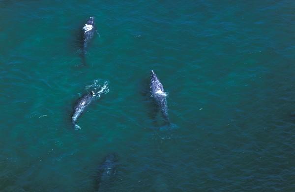 Gray Whale atau paus abu-abu merupakan salah datu migrator hewat di kerajaan hewan. Mereka bepergian secara berkelompok dan bisa berenang sejauh 12.430 mil (20 ribu km) dari rumah musim panas mereka di perairan Alaska ke perairan yang lebih hangat di lepas pantai Meksiko.