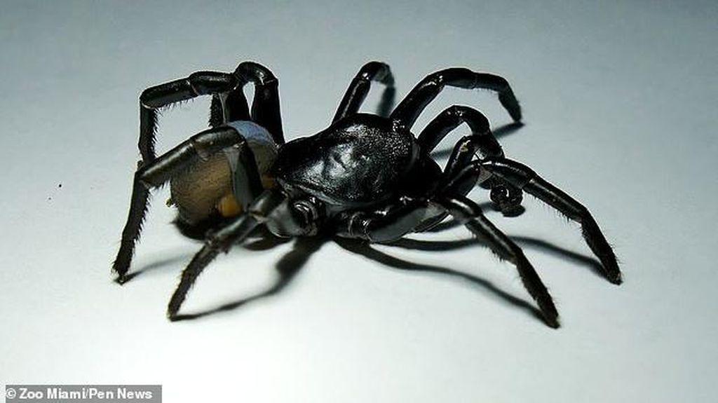Ditemukan Spesies Baru Laba-laba Berbisa dan Mengerikan