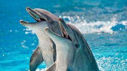 Puluhan Ekor Lumba-lumba Muncul di Kepulauan Seribu