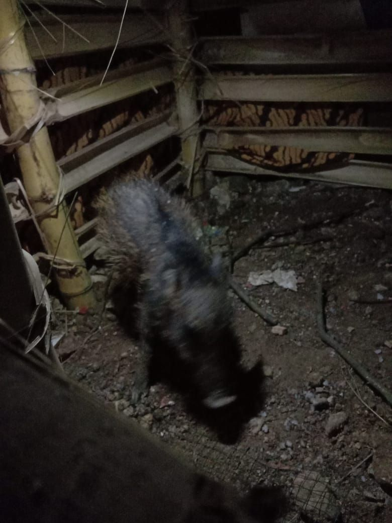 Penampakan Babi Ngepet yang Menghebohkan Warga Depok