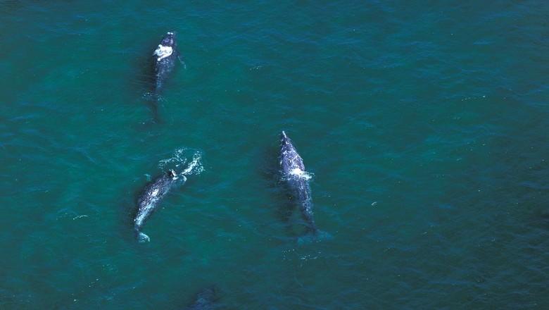 Gray whale, paus abu-abu di Baja California, Mexico