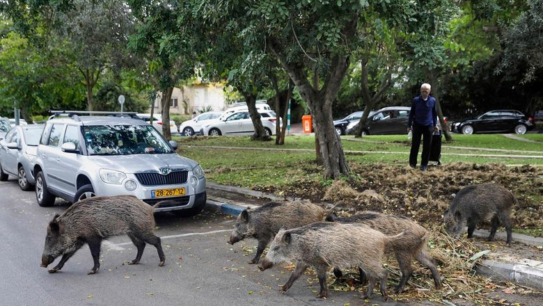 Wild boars gather in a residential area in the northern Israeli city of Haifa on December 5, 2019. - Dozens of wild pigs have taken up residence inside the coastal city of Haifa in northern Israel, after the city banned culling. They rip up vegetation and rummage through bins, sparking a fierce debate between animal rights defenders and those in favour of driving away or killing them. The pigs have long entered the city at night looking for food and water but residents say in recent months they have been increasingly brazen -- standing in the middle of streets without fear, digging up public gardens and even overturning large refuse bins. (Photo by MENAHEM KAHANA / AFP)
