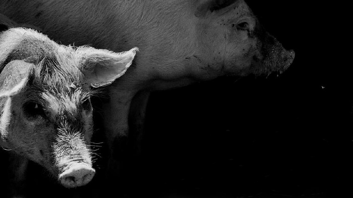 portrait of a two pig. effect of an old black and white film with grain