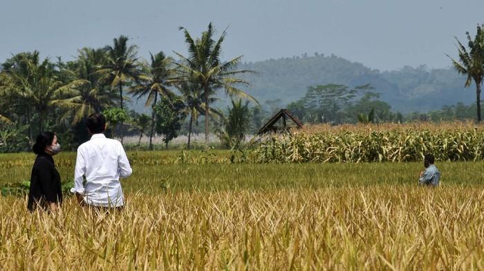 Presiden Jokowi meninjau lokasi tanam sekaligus panen padi di Desa Kanigoro, Kecamatan Pagelaran, Malang. Jokowi didampingi Ketua DPR RI Puan Maharani beserta sejumlah menteri.