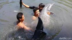 Kala Lumba-lumba Terjebak di Empang Warga