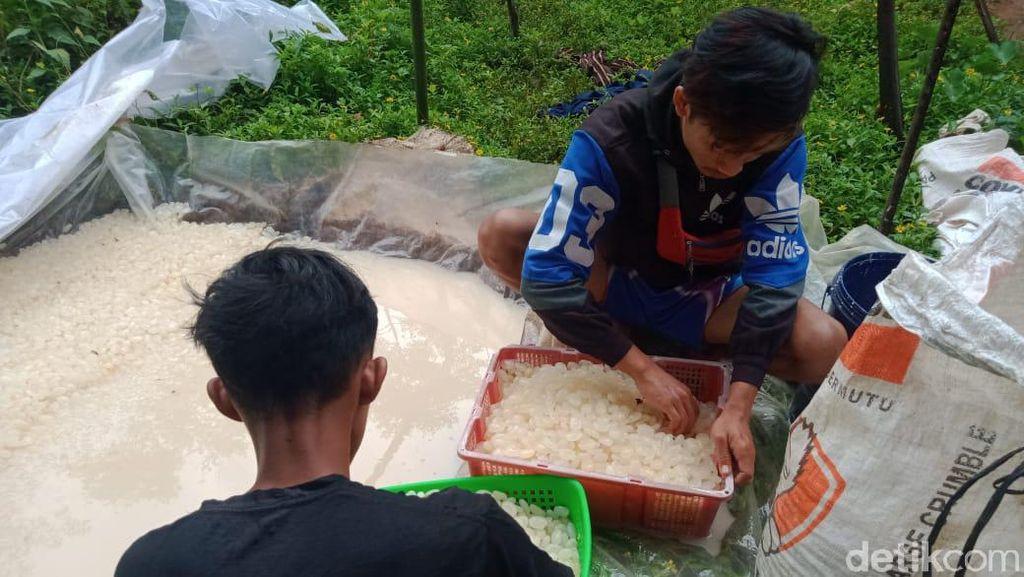 Harga Kolang Kaling Anjlok, Perajin di Pangandaran Merugi