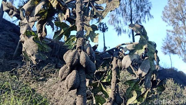 Penampakan Dieng dampak erupsi awah Sileri, 29/4/2021 kemarin