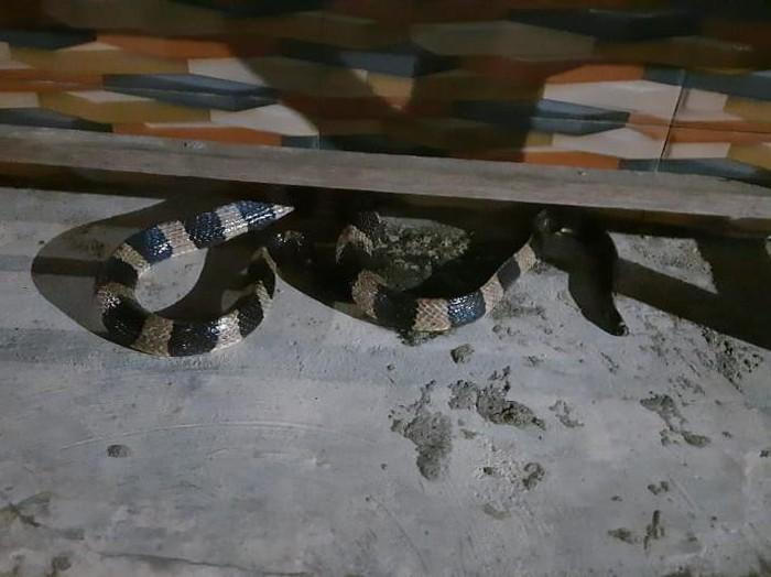 Warga sebuah dusun di Lamongan dibuat kaget oleh ular weling sepanjang 1,5 meter yang masuk rumah. Ular tersebut ditemukan di kolong kursi.