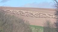Mirip Pola Kapal Alien, Formasi Kawanan Domba Ini Jadi Viral