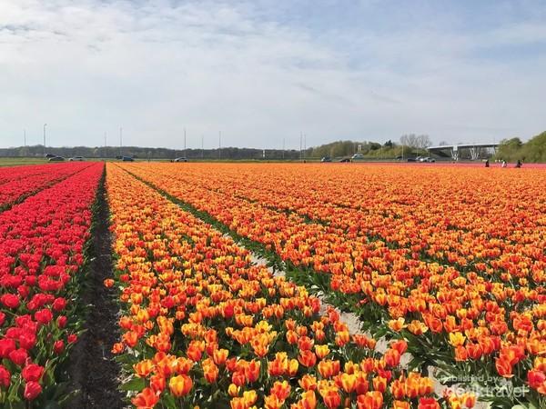 Bunga tulip mulai diperkenalkan di Belanda sekitar abadke-16.