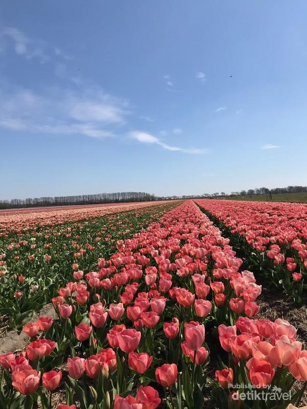 Bunga tulip di Belanda ini berasal dari Turki dan Persia.