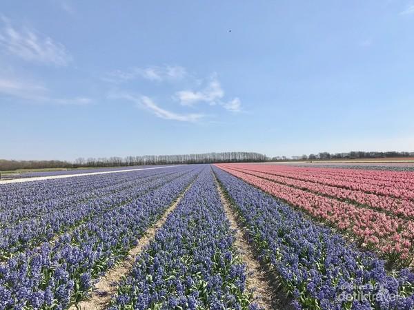 Ladang bunga Hyacinthus yang tak kalah cantik.