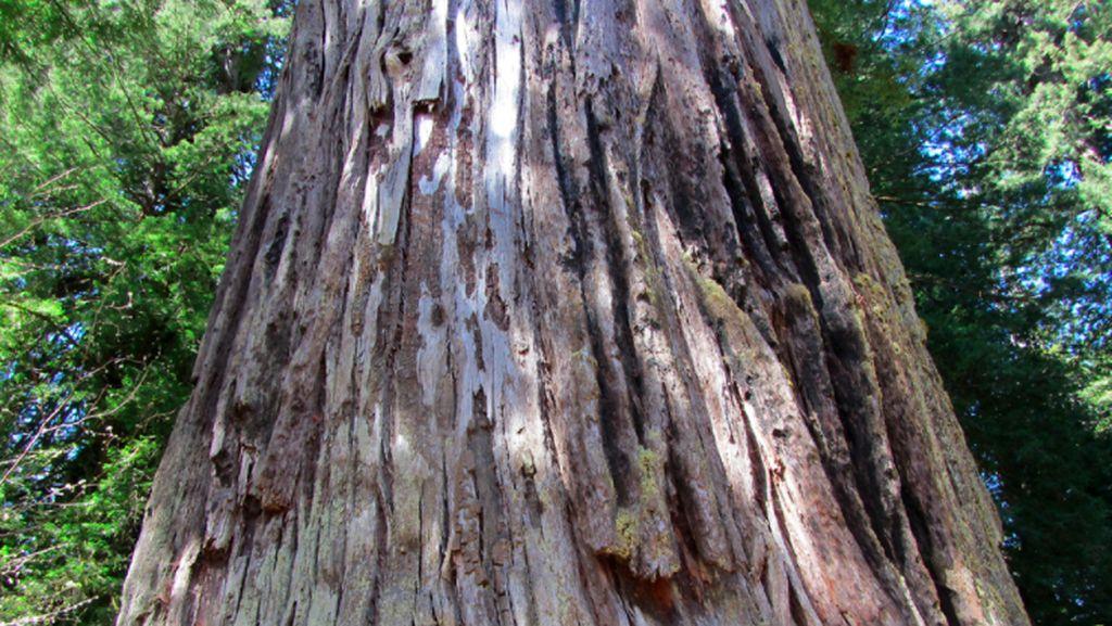 Pohon Tertinggi di Dunia Lebih Menjulang dari Patung Liberty