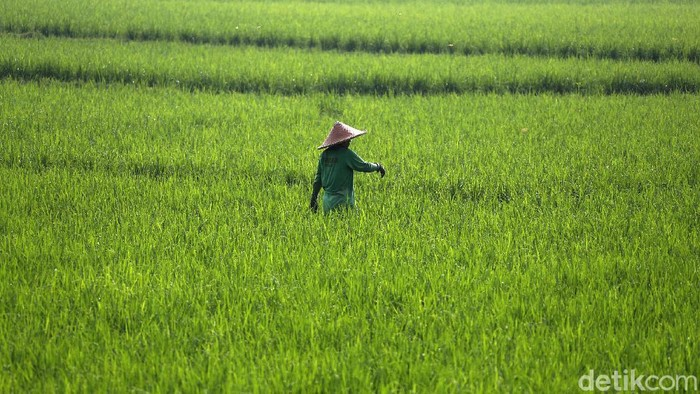 Di bulan Ramadhan, para petani di Cileungsi, Kabupaten Bogor, tetap beraktivitas normal. Mereka mencangul dan lain-lainnya dalam keadaan berpuasa.