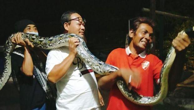 Penampakan ular piton 5 meter yang ditangkap warga di dalam kandang ayam milik warga Klaten