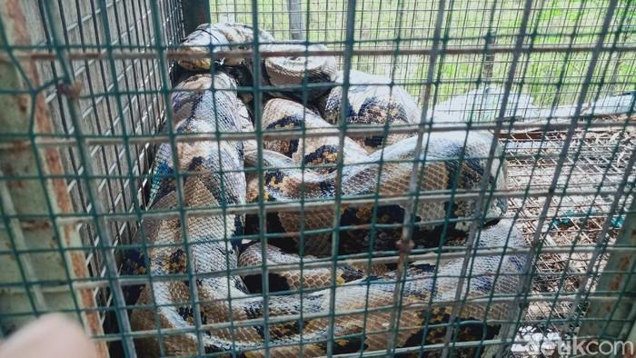 Ular piton 5 meter yang ditangkap warga Klaten di kandang ayam
