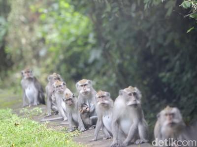 Lucu tapi Galak, Ini Monyet-monyet Taman Nasional Bali Barat