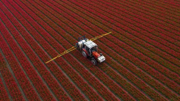 Pemandangan dari udara ladang tulip yang sedang mekar di Den Helder, Belanda.