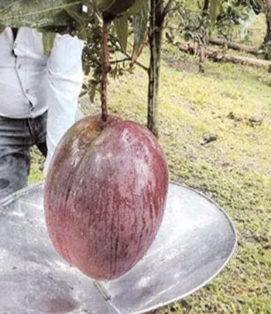 Rekor mangga terbesar di dunia, beratnya mencapai 4,25 kilogram dari Kolombia, Amerika Selatan.