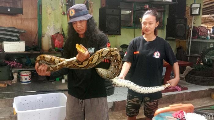 Ular piton sepanjang 4 meter ditangkap di permukiman warga Desa Hadipolo Kecamatan Jekulo, Kudus, Jawa Tengah. Ular piton itu ditemukan di kandang ayam.