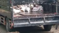 Pos Penyekatan Ini Gagalkan Penyelundupan 78 Ekor Anjing, 10 Sudah Mati