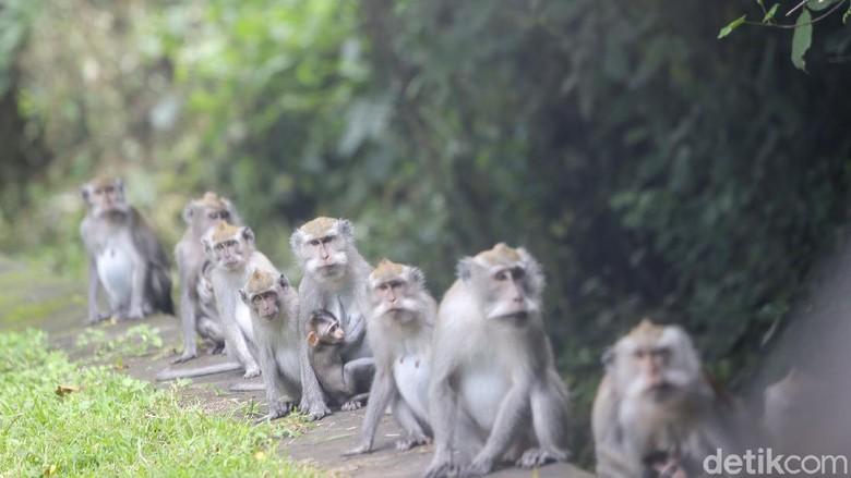 Sejumlah monyet ekor Panjang atau Macaca fascicularis tampak turun ke jalan untuk mengais makanan dari kendaraan yang lewat di Kawasan Taman Nasional Bali Barat atau beberapa kilometer dari Pelabuhan Gilimanuk, Bali.