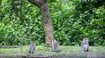 Monyet-monyet di Bali Berkeliaran di Jalan Minta Makan