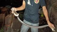 Bikin Merinding! Sepasang Ular Kobra Ngumpet di Rumah Warga Klaten