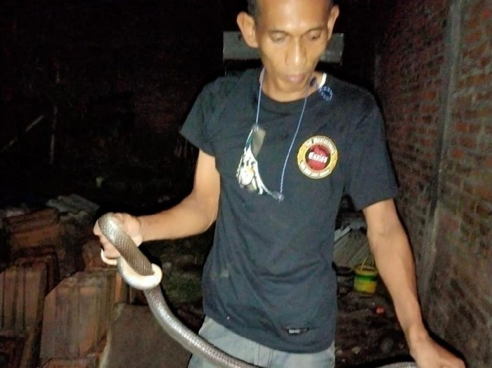 Seekor ular kobra di rumah warga, Klaten, Kamis (6/5/2021).