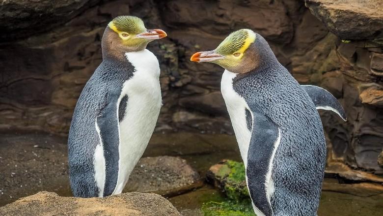 penguin di Selandia Baru