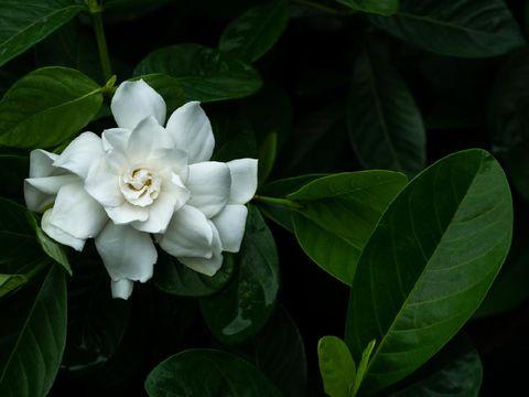 The Big White Gardenia Flower Blooming in Dark Background