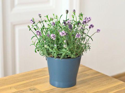 Lavendel Topfpflanze auf Holztisch vor weißem Hintergrund