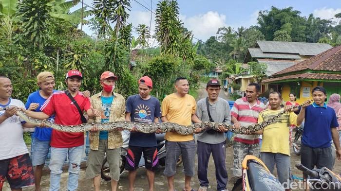 Warga menangkap ular sanca yang memangsa ternak di Cianjur.