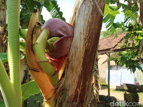 Pohon pisang dengan jantung di tengah batangnya, Kudus, Senin (10/5/2021).