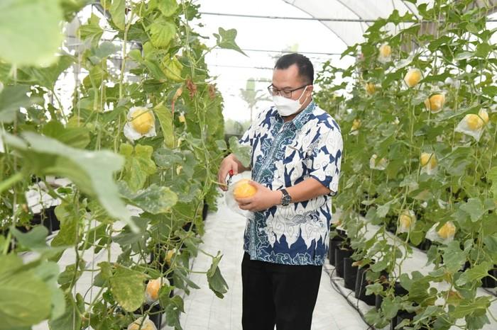 Rektor IPB Arif Satria memanen melon di Kebun IPB Sukamantri