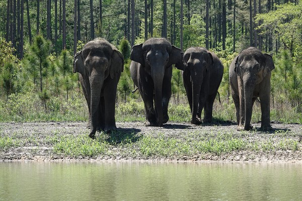 White Oak Conservation didirikan pada tahun 1982 dan telah diperluas menjadi sekitar 17.000 hektar. Selain gajah, suaka margasatwa ini juga menjadi rumah bagi badak, okapi, bongo, rusa Dama, dan cheetah.