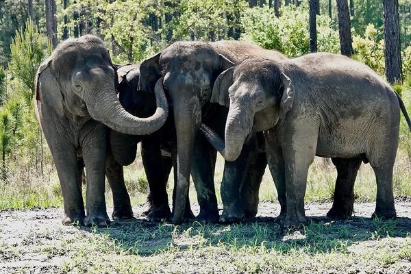 Sekedar informasi saja untuk kamu, gajah Asia terancam punah di alam liar, lho. Jumlah mereka hanya sekitar 30.000-50.000 spesies. Spesies ini terancam oleh degradasi dan fragmentasi habitat, konflik dengan manusia, dan perburuan.