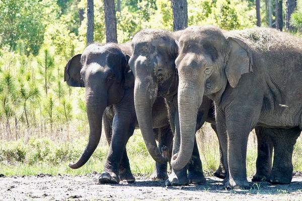 Gajah-gajah ini akan ditampung di White Oak Conservation, yang terletak di utara Jacksonville, Florida.