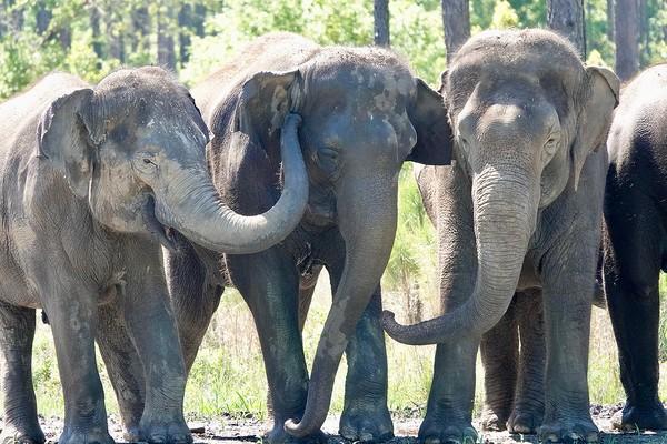 Sekelompok gajah Asia yang pernah menjadi bagian dari Ringling Bros dan Barnum & Bailey Circus mulai pindah ke rumah jompo di Florida utara.