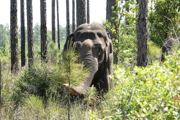 Ini adalah tempat perlindungan bagi spesies langka yang terletak di utara Jacksonville dan tepat di selatan garis Florida-Georgia. Nanti setidaknya 20 gajah sirkus diperkirakan akan segera tiba di pengungsian.