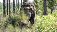 Panti Jompo untuk Gajah-gajah Bekas Sirkus